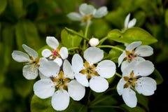Flores brancas da cereja Foto de Stock Royalty Free