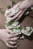 flores brancas da cereja nas mãos novas Foto de Stock Royalty Free