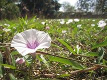 Flores brancas da corriola Fotos de Stock
