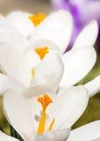 Flores brancas da flor do açafrão Imagens de Stock Royalty Free