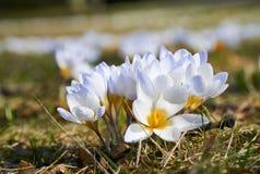 Flores brancas da flor do açafrão na mola Fotos de Stock Royalty Free