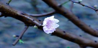 Flores brancas da flor do pêssego na árvore fotos de stock royalty free