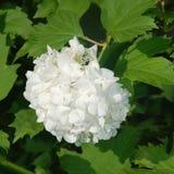 Flores brancas da hortênsia do pincel Fotografia de Stock Royalty Free