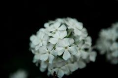 Flores brancas da hortênsia no preto Imagem de Stock