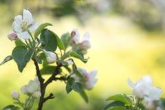 Flores brancas da maçã Foto de Stock Royalty Free
