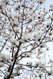 Flores brancas da magnólia de baixo de foto de stock royalty free