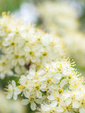 Flores brancas da mola Fotografia de Stock