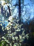 Flores brancas da mola Imagem de Stock