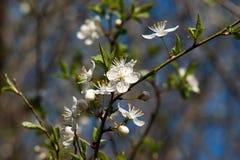 Flores brancas da mola Fotografia de Stock Royalty Free