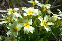 Flores brancas da mola com meio amarelo de Foto de Stock