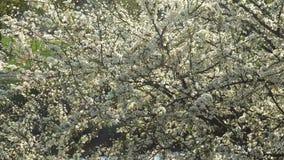 Flores brancas da mola de uma árvore de cereja no vento 4K filme