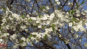 Flores brancas da mola de uma árvore de cereja no vento 4K video estoque