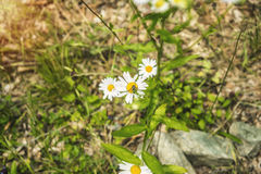 Flores brancas da mola do verão Imagem de Stock Royalty Free