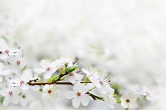 Flores brancas da mola em uma filial de árvore Fotografia de Stock