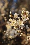 Flores brancas da mola no ramo na luz solar foto de stock royalty free