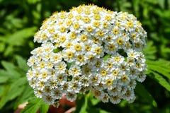 Flores brancas da mola pequena em uma inflorescência Seja similar a uma camomila imagens de stock