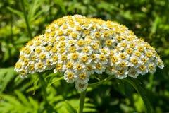 Flores brancas da mola pequena em uma inflorescência Seja similar a uma camomila foto de stock