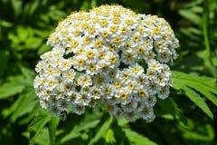 Flores brancas da mola pequena em uma inflorescência Seja similar a uma camomila fotografia de stock royalty free