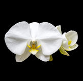 Flores brancas da orquídea Foto de Stock Royalty Free