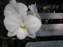 Flores brancas da orquídea do Dendrobium Foto de Stock