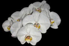 Flores brancas da orquídea no backround preto fotos de stock royalty free