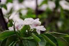 Flores brancas da pera fotografia de stock royalty free