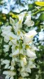 Flores brancas da ?rvore na mola imagem de stock