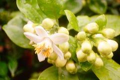 Flores brancas da toranja, muito bonitas Fotos de Stock