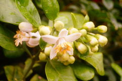 Flores brancas da toranja, muito bonitas Imagens de Stock Royalty Free