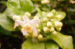 Flores brancas da toranja, muito bonitas Foto de Stock