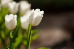 Flores brancas da tulipa na manhã Imagem de Stock
