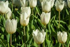 Flores brancas da tulipa na manhã Foto de Stock