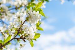 Flores brancas das flores de cerejeira em um dia de mola fotos de stock