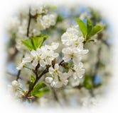 Flores brancas das flores de cerejeira em um dia de mola foto de stock royalty free