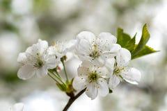 Flores brancas das flores de cerejeira em um dia de mola fotografia de stock
