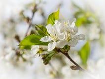 Flores brancas das flores de cerejeira em um dia de mola imagens de stock royalty free