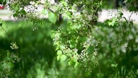 Flores brancas de Apple e da pera de plantas cultivadas contra as folhas e a luz do verde vídeos de arquivo