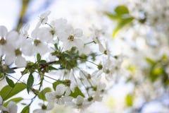 Flores brancas de Apple em um fundo borrado de árvores de florescência imagem de stock royalty free