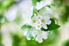 Flores brancas de florescência de árvore de maçã e folhas verdes no fundo borrado do bokeh perto acima, macro do grupo da flor de fotos de stock