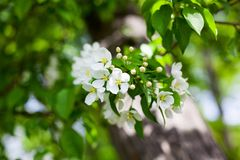Flores brancas de florescência de árvore de maçã folhas verdes no fundo borrado do bokeh perto acima, macro do grupo da flor de c fotografia de stock