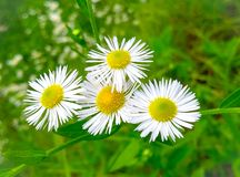 Flores brancas de florescência fotos de stock royalty free