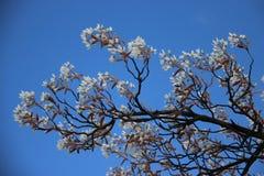 Flores brancas de florescência com folhas novas foto de stock royalty free