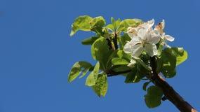 Flores brancas de florescência das maçãs com folhas novas Foto de Stock Royalty Free