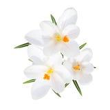 Flores brancas de florescência do açafrão frágil da mola isoladas Fotos de Stock