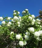 Flores brancas de florescência no tempo de mola Fotos de Stock Royalty Free