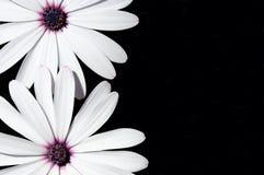 Flores brancas de Osteospermum. Fotos de Stock