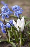 Flores brancas de Scilla do açafrão e do azul Imagens de Stock