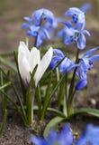 Flores brancas de Scilla do açafrão e do azul Imagens de Stock Royalty Free