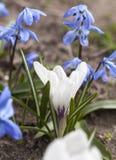Flores brancas de Scilla do açafrão e do azul Imagem de Stock