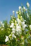 Flores brancas de Snapdragon sob o céu azul Imagens de Stock Royalty Free